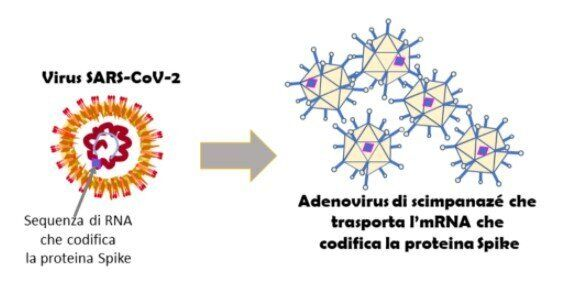 Verso il vaccino. AstraZeneca tra adenovirus e proteina Spike (di G. Forni e A.