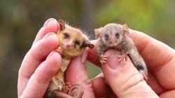 生きていた!小さな小さなピグミー・ポッサム、山火事の後に初めてカンガルー島で発見される