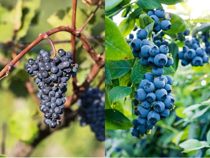 포도와 블루베리는 기억력 개선에 도움을 줘 수험생 필수 과일로도 불린다.