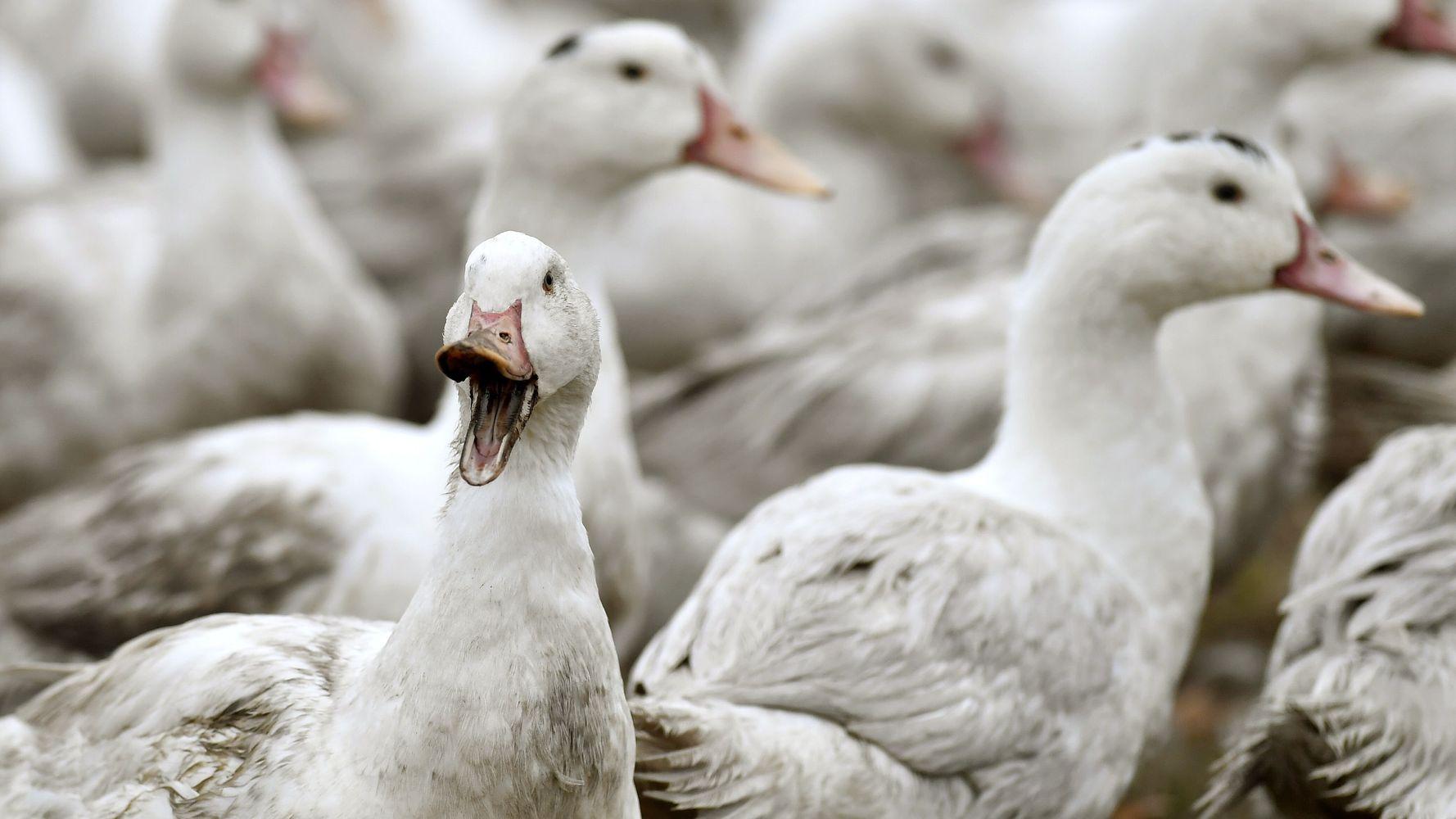Dans les Landes, un 2e élevage de canards touché par la grippe aviaire