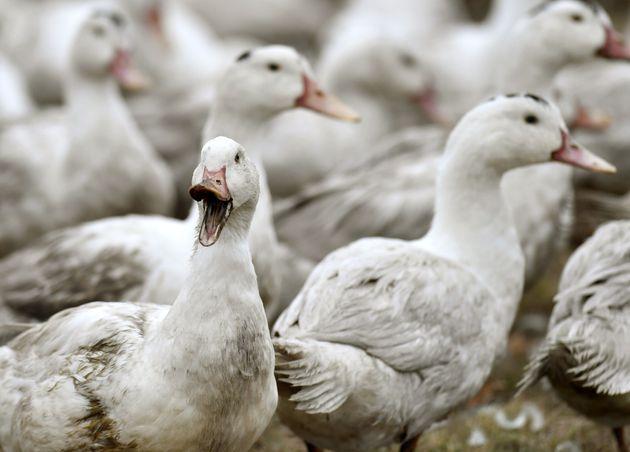Un élevage de canards à Bourriot-Bergonce le 22 Février 2017 en pleine crise de...