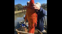 Ce poisson rouge découvert que vous ne mettrez pas en