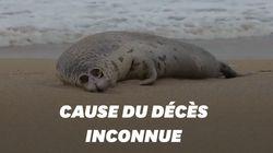 En Russie, près de 300 phoques retrouvés morts sur une plage de la mer