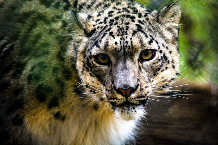 NeeCee, a 5-year-old female snow leopard at the Louisville Zoo, tested positive for SARS-CoV-2, the virus that causes COVID-1
