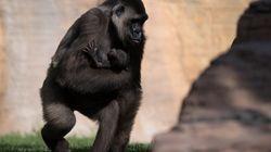 Cher veut sauver un gorille enfermé dans un zoo de
