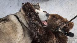 子グマと犬が仲良く格闘技。自然に戻るための訓練が微笑ましい