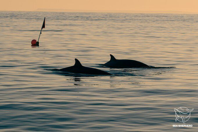Two beaked whales, possibly members of a new species.