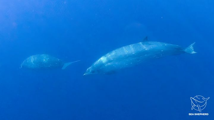 Two beaked whales, potentially belonging to a newly discovered species, swim underwater.