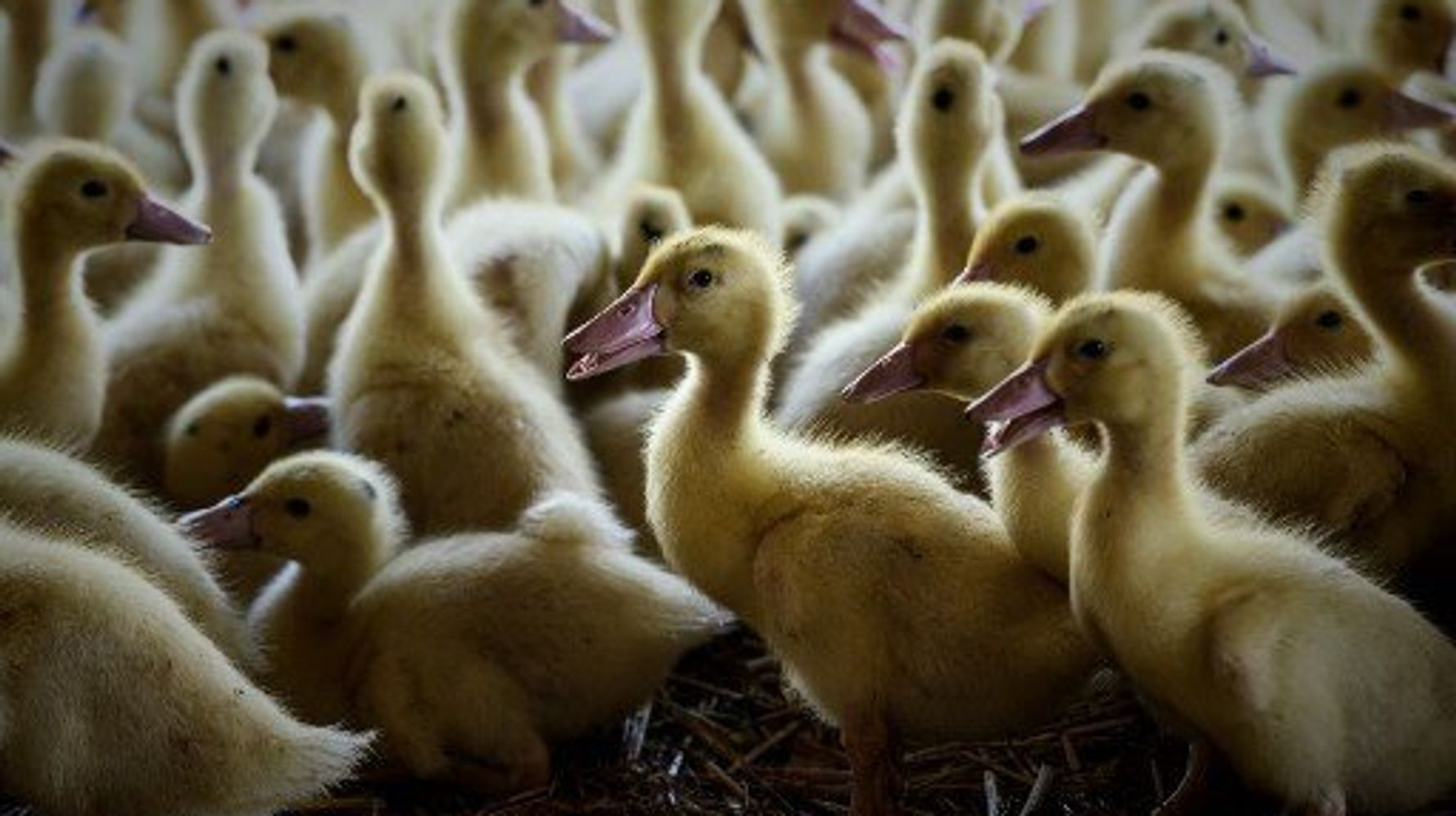 Un troisième élevage des Landes touché par la grippe aviaire