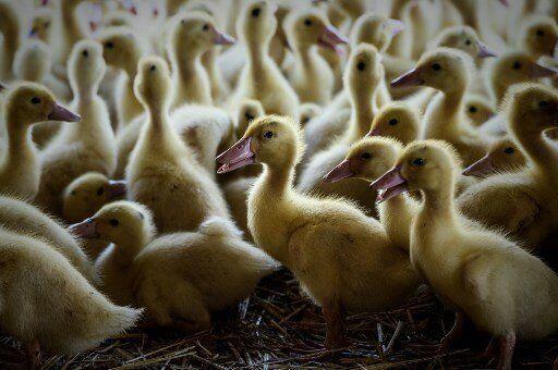 Un troisième élevage des Landes touché par la grippe aviaire (Photo d'illustration...