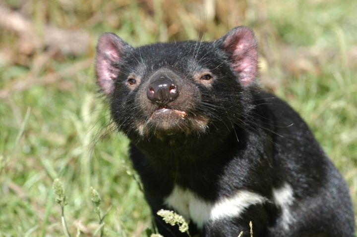 Tasmanian devils are an endangered carnivorous marsupial native to Australia. Researchers in Ohio recently learned they glow
