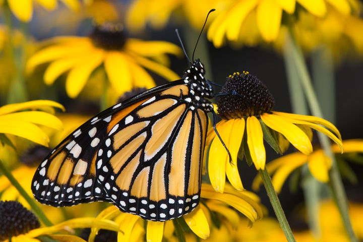 A butterfly on a yellow flower in Ohio.