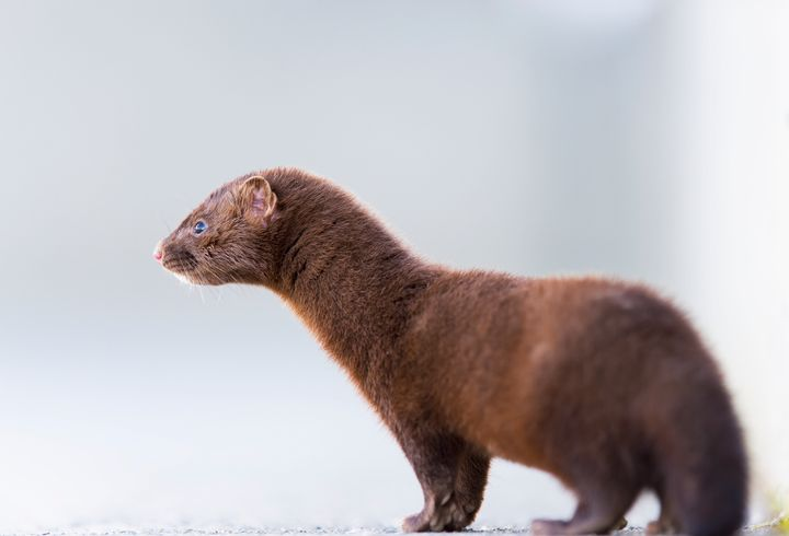 A Utah wild mink (not pictured) has tested positive for the coronavirus.