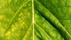 Un vaccin anti-Covid à base de feuilles de tabac? Le cigarettier BAT lance des