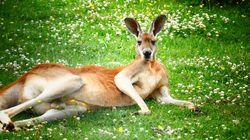 Une étude montre que les kangourous peuvent communiquer avec les