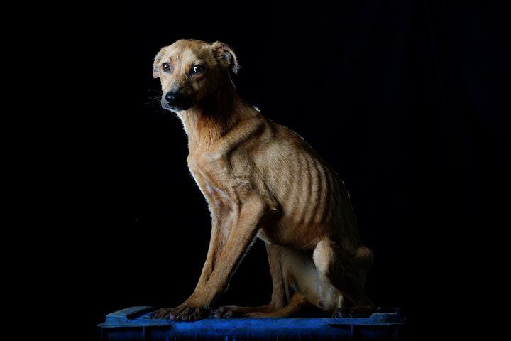 Imagen de archivo de un perro desnutrido.