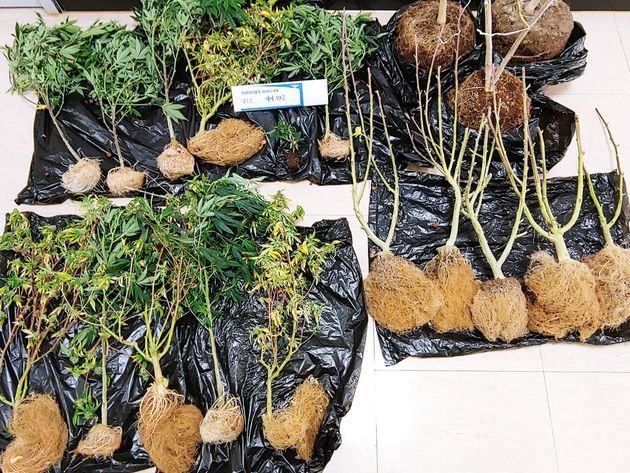 주거지 대마 불법 재배