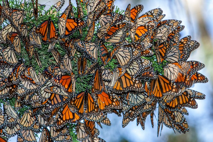 Monarch butterflies resting on a tree branch near their winter nesting area in Santa Cruz, California.