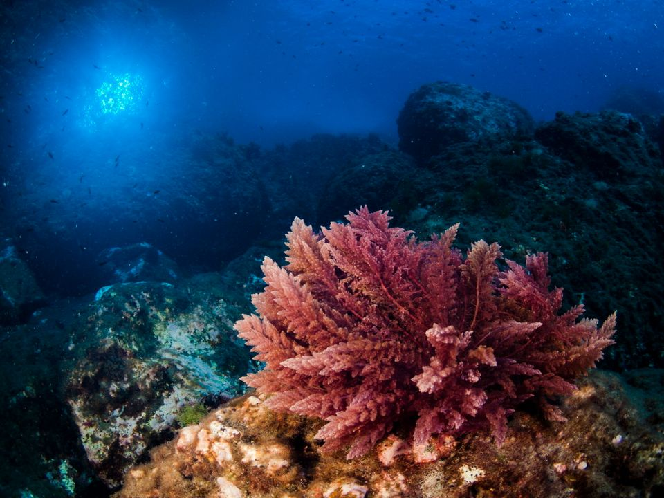 Seaweeds are being investigated for a number of climate-saving uses, from reducing methane emissions...