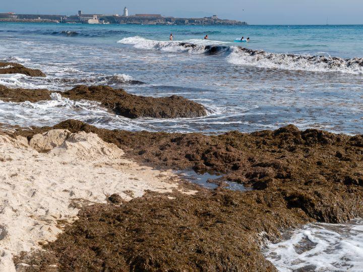 Invasive algae can overrun marine ecosystems.