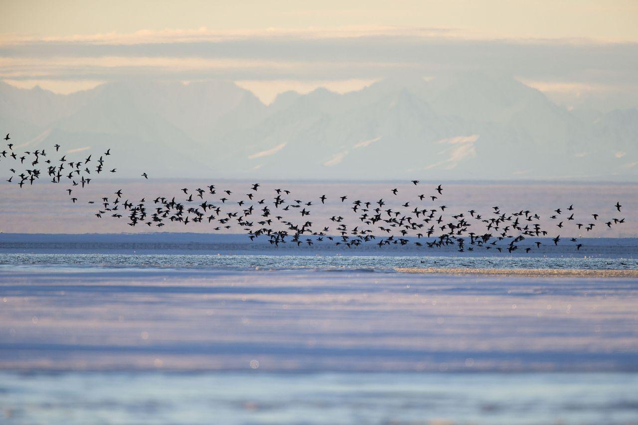 Long-tailed Duck near Kaktovik, Alaska, on the northern edge of the Arctic National Wildlife Refuge.