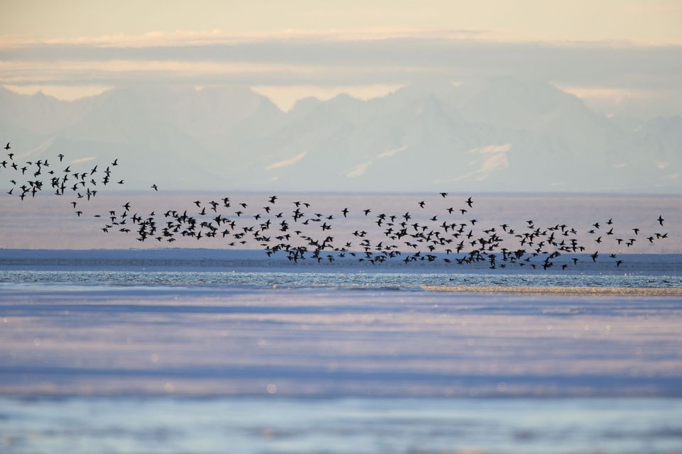 Long-tailed Duck near Kaktovik, Alaska, on the northern edge of the Arctic National Wildlife