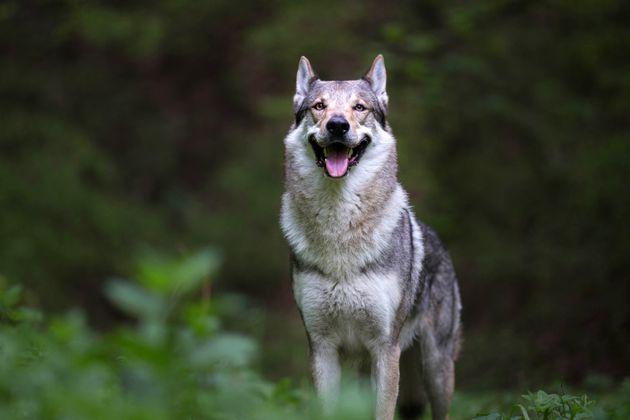 Sbranata dai cinque cani lupo della figlia: muore donna di 74