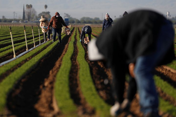 Agricultural workers in carrot fields at a farm near Arvin, California on April 3.