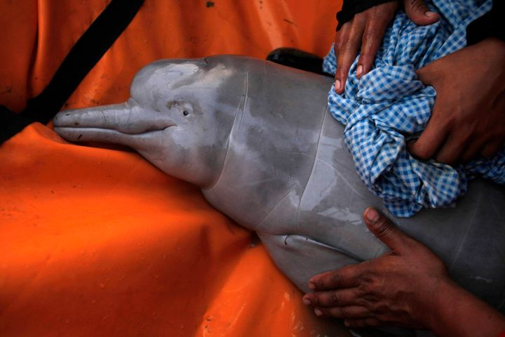 A rescued baby Amazon river dolphin is cared for by biologists on the Pailas River in Santa Cruz, Bolivia. These dolphins are