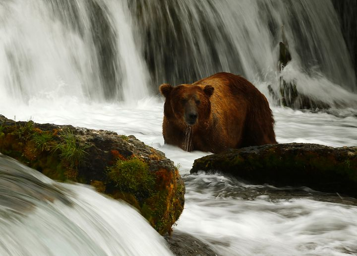 A brown bear fishes for sockeye salmon at Brooks Falls, about 100 miles from the Pebble Mine site, where developers wanted to