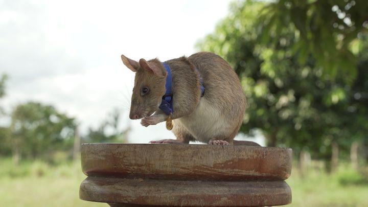 Magawa the hero rat