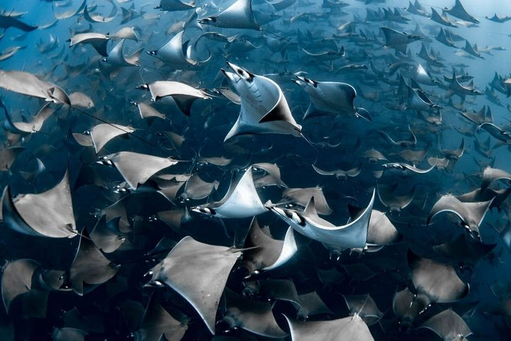Nadia Aly's picture of mobula rays was the overall winner (Nadia Aly/Ocean Photography Awards/PA)