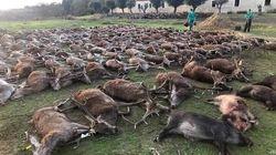 Indignación en Portugal por una montería de cazadores españoles que masacraron a 540