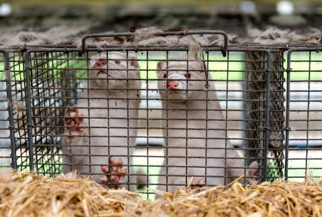 Minks at a Danish farm are seen in this November 7, 2020
