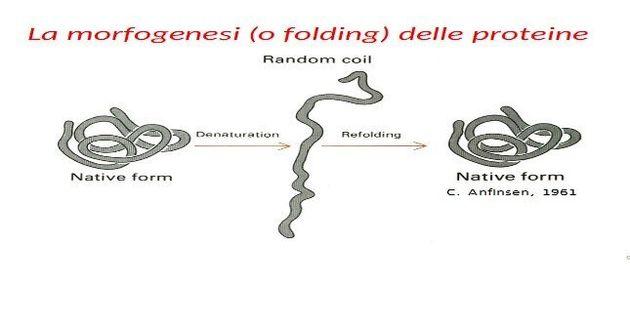 Figura 2. La reversibilità della morfogenesi (o folding) delle proteine. Lo schema riassume l'esperimento...