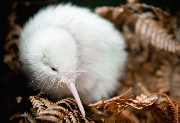 Ce rare kiwi blanc est né à Wellington en Nouvelle-Zélande en