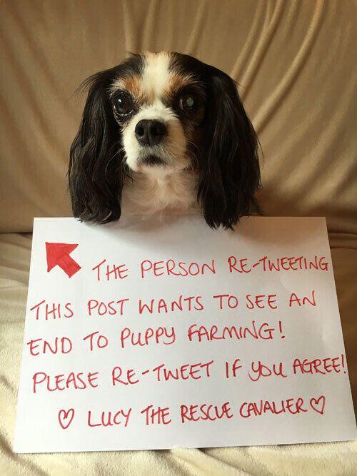 2013년 영국 웨일스의 강아지 번식장에서 구조된 개 '루시'는 영국의 6개월령 이하 강아지·고양이 펫숍 판매 금지 법안을 이끄는 데 큰 영향을 미쳤다.