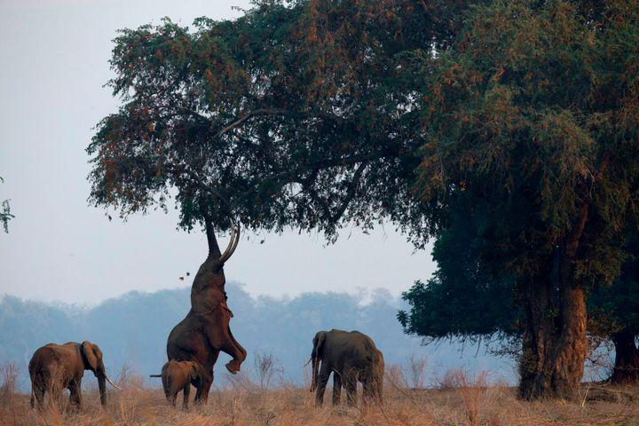 Elefantes en el parque nacional de Mana Pools (Zimbabue).