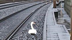 Un cygne en deuil arrête et retarde une vingtaine de trains en