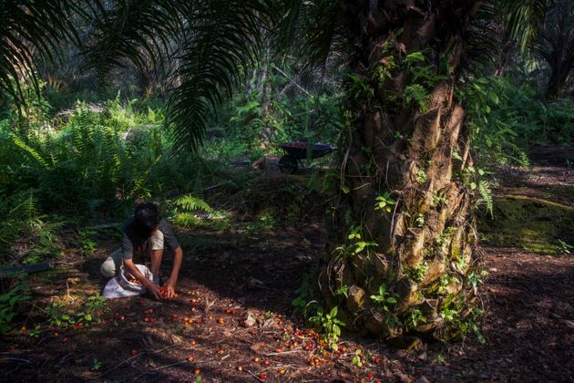 A boy collects palm kernels from the ground at a palm oil plantation in Sumatra, Indonesia. The U.N.'s...