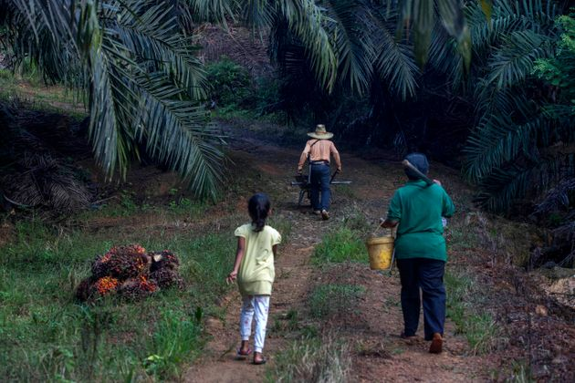 A little girl helps her parents work on a palm oil plantation in Sabah, Malaysia. Many children gather...