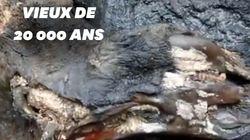 Un rhinocéros laineux de 20.000 ans retrouvé (presque) intact en