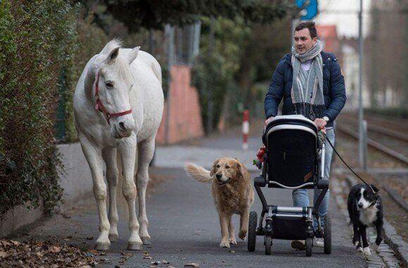 독일에서 주인 없이 14년 동안 혼자 산책을 즐기는 '제니'라는 이름의 백마가 화제다 (사진과