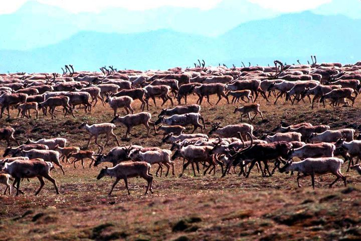 Caribou from the Porcupine Caribou Herd migrate onto the coastal plain of the Arctic National Wildlife Refuge in northeast Al