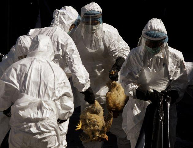 Trabajadores sanitarios participan en el sacrificio de las gallinas de un mercado