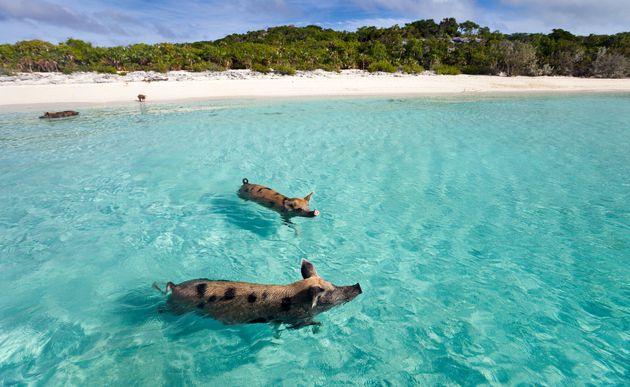 """「世界一の透明度」とも言われるバハマの海。700を超える島は世界屈指のリゾート地としても有名で、そのひとつには""""泳ぐブタ""""が暮らす無人島もある。"""