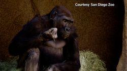 Al menos ocho gorilas dan positivo por COVID-19 en un zoo de