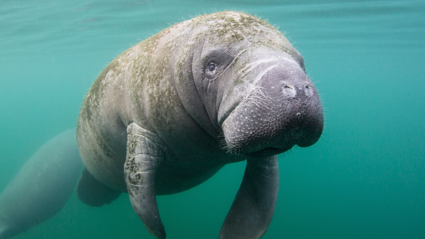 Federal Officials Seeking Person Who Scraped 'Trump' Into Manatee's Back