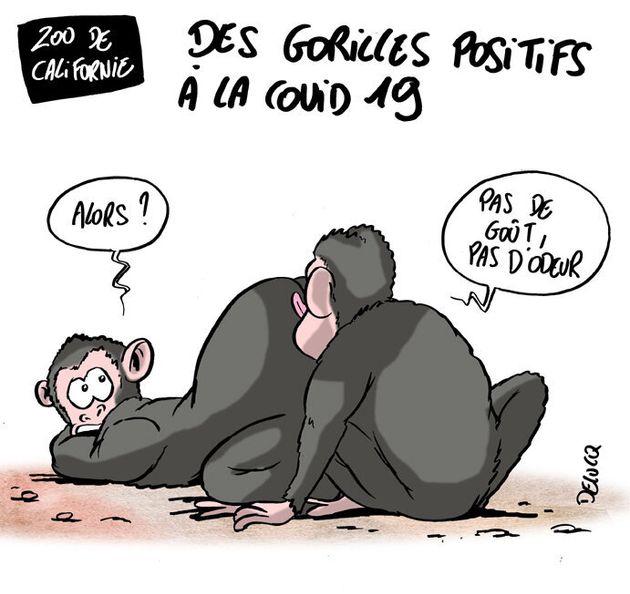 Covid-19: les gorilles aussi sont