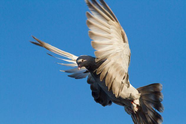 Soupçonné d'être entré illégalement en Australie, ce pigeon pourrait...